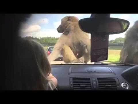 Monkeys on a Safari Tour Decide To Scar a Girl for Life By Humping on Her Family Car [Video] & Monkeys on a Safari Tour Decide To Scar a Girl for Life By Humping ...
