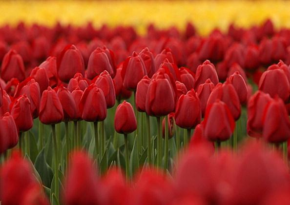 Tulips In Full Bloom In Toyooka