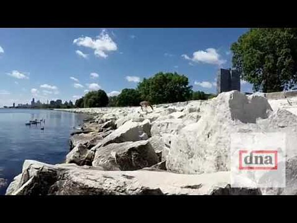 Deer spotted swimming in lake michigan near chicago harbor video for Deer lake swimming pool schedule