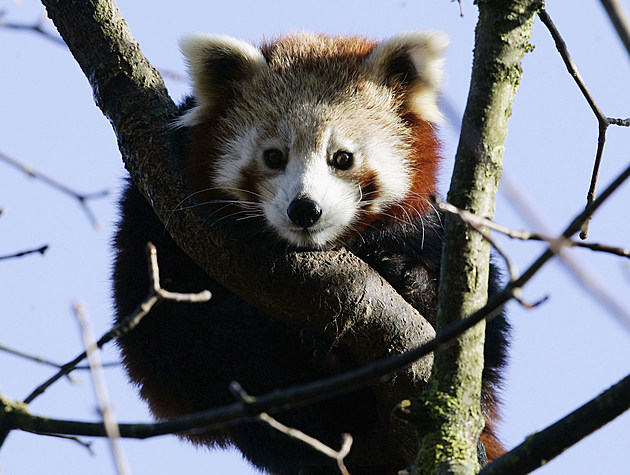Newborn Red Panda in Munich Zoo